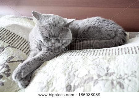 Cat sleeps stretching his paws. British shorthair