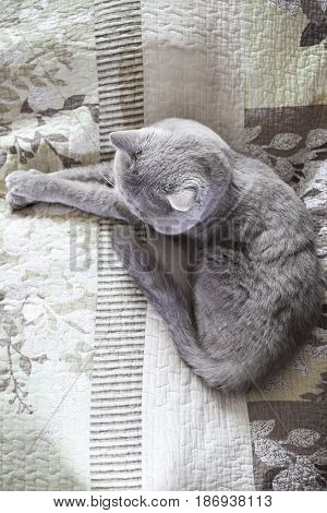 Cat lies top view. On the coverlet. British shorthair