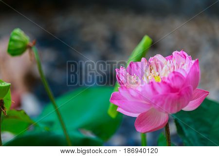 Close up Waterlily or lotus flower on blur background