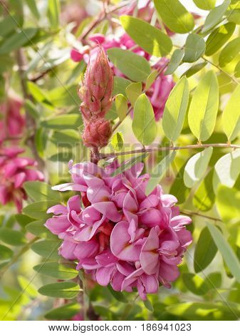 closeup flowers of blossoming pink acacia (known as Robinia Viscosa). Vertical composition.