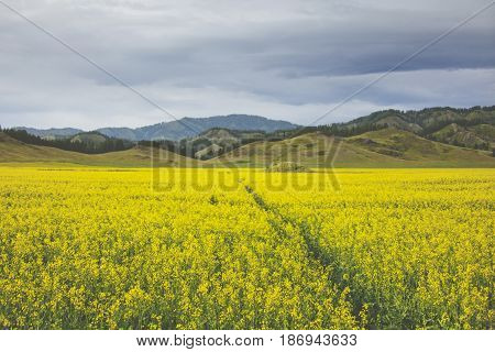 Flowering Rapeseed Field. Yellow Flowers. Altai Landscape