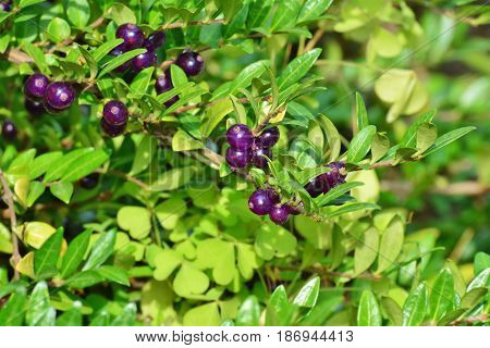 Purple berries of box-leaved honeysuckle (Lonicera pileata)