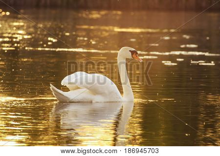 Swan on a lake in sunlight. Beautiful white swan.