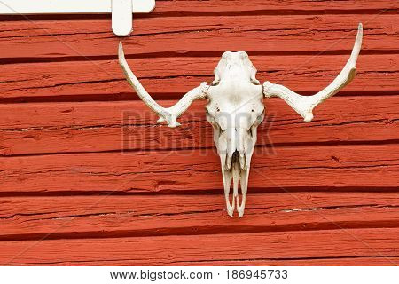 Animal Scull Hanging on the Red Wooden Wall