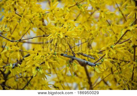 Yellow blossom on Forsythia tree in spring