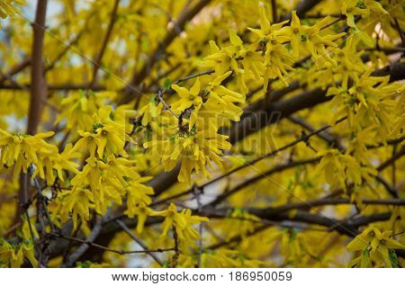 Forsythia bush with yellow blossom on spring day