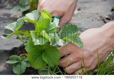 Farming. Hands of man cutting strawberry leaves with secateurs outdoors in sunny day