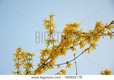 Several branches with yellow forsythia flowers on white sky background in spring