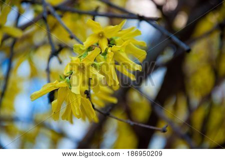 Branch of forsythia bush with yellow blossom in spring