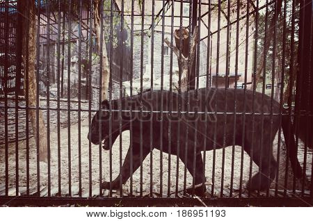 Black Jaguar In A Cage Of Zoo.