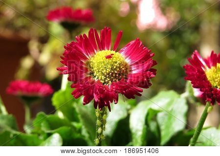 Small red daisy flower in garden stem covered with aphids
