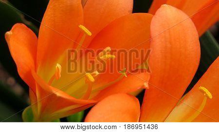Clivia Amaryllidaceae Bush Lily Natal Lily orange flower close-up