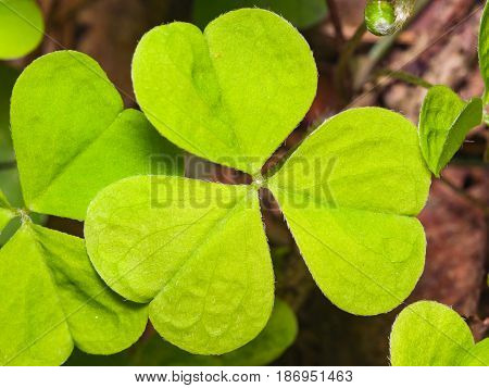Common Wood Sorrel or Oxalis acetosella leaves texture macro selective focus shallow DOF.