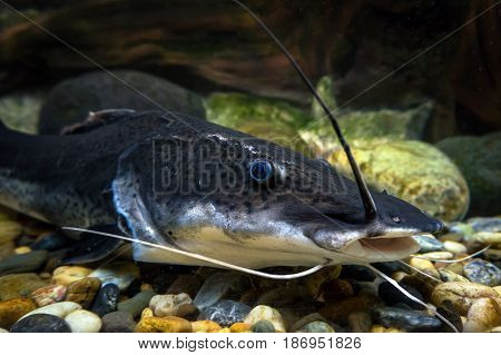 Amazon Sheatfish Actocephalus Nemioliopterus