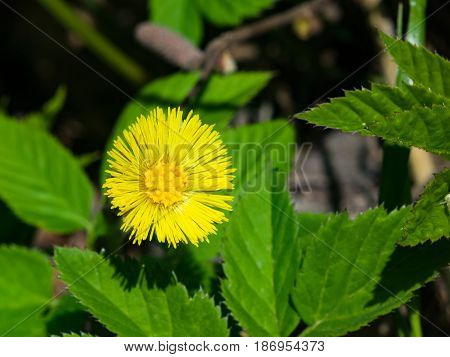 Flower in early spring blooming coltsfoot or tussilago farfara macro selective focus shallow DOF.