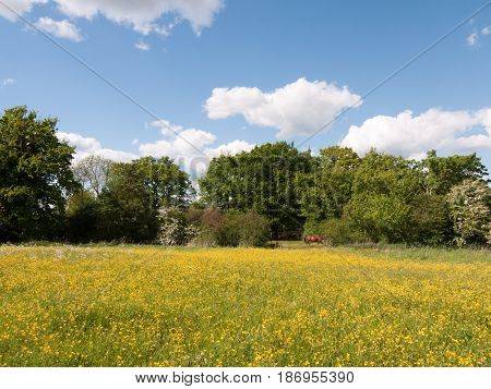 A Summer Field Of Buttercups And Dandelions Outside In The Countryside On A Clear Day Afternoon