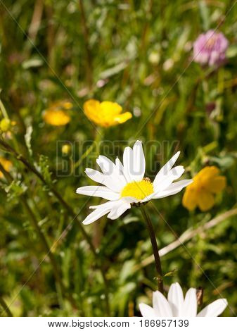 A Gorgeous Up Close Big White Petal Flower Head Daisy In A Field In England Essex In The Uk