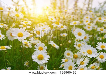White camomiles on green field and sun