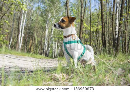 Jack rassele dog sits in the forest on a bright sunny afternoon.