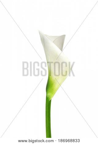 Beautiful calla lily on white background