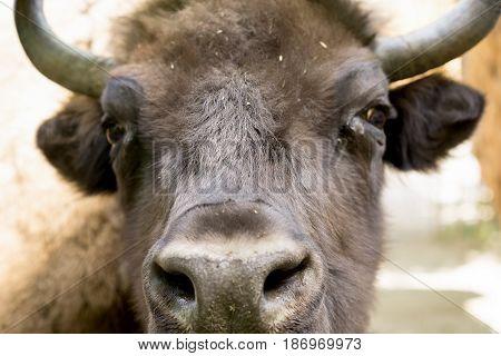 Portrait Of A Big Buffalo In The Paddock