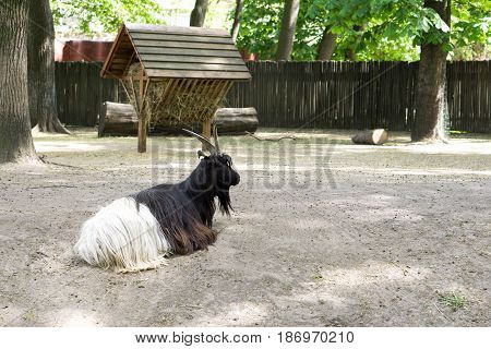 Black And White Mountain Goat Resting In The Paddock