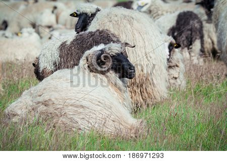 Herd of sheep in the green meadow