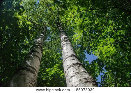 The Sun Shines Through Birch Trees Leaves In Swiss Forest Near Reichenbach Falls (reichenbachfall) A