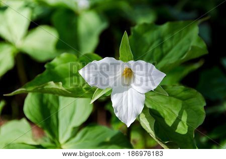 Trillium grandiflorum a beutiful white flower the flower is from USA