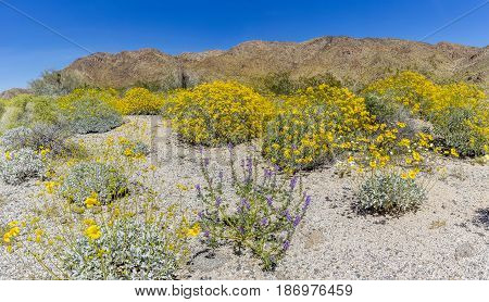 Wildflowers Blooming In Late March - Joshua Tree National Park, California