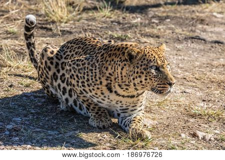 large predator in the wild savannah. African spotted leopard resting after feeding. Travel to Namibia. The concept of exotic and extreme tourism