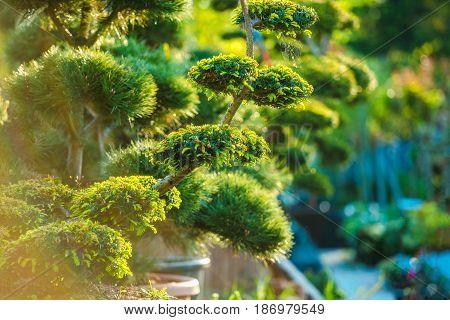 Topiary Art Garden Plants. Beautiful Shaped Decorative Garden Plants in Sunset Light.