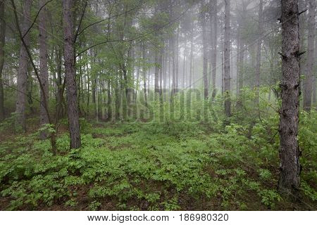 View inside of the foggy forest on the trees. Scenic foggy landscape
