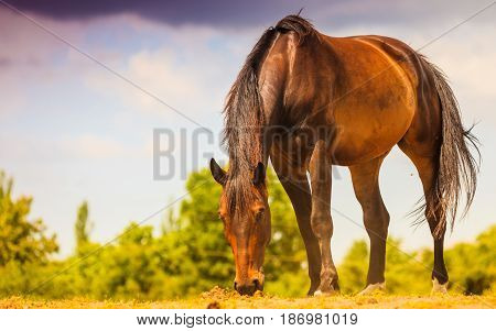 Brown Wild Horse On Meadow Idyllic Field