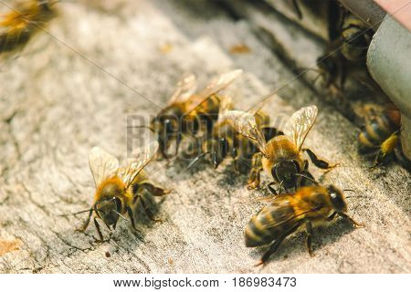 hives with bees looking for entrance around