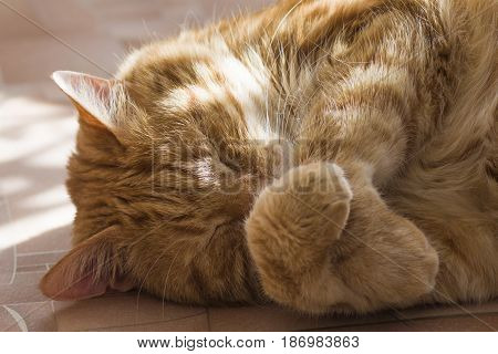 Red cat sleeps its nose with its paws close up