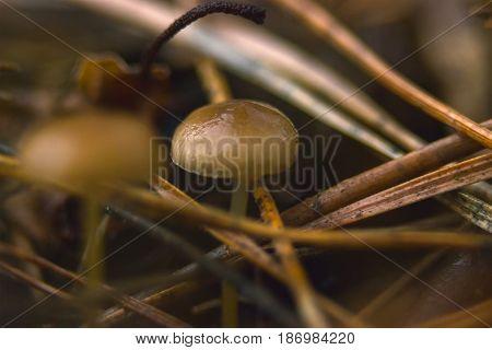 Mushroom called Panaeolus Acuminatus in last year grass