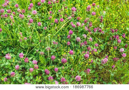 Closeup of red purple flowering clover plants between grasses and other wild plants.