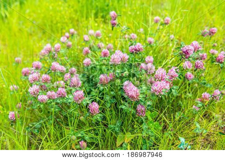 Closeup of red purple flowering clover plants between grases and other wild plants.