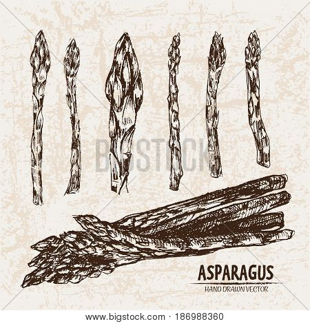 Digital vector detailed line art asparagus vegetable hand drawn retro illustration collection set. Thin artistic pencil outline. Vintage ink flat style, engraved simple doodle sketches. Isolated