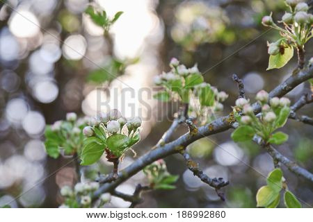 Tree branch with unopened flower buds on blurred background