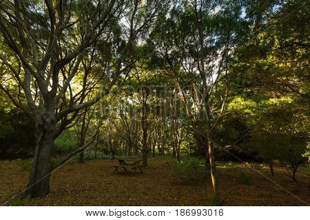 Outdoor table in middle of tall tree forest grove on top of The Nut State Reserve Plateau tableland in Stanley during Autumn in Tasmania, Australia.