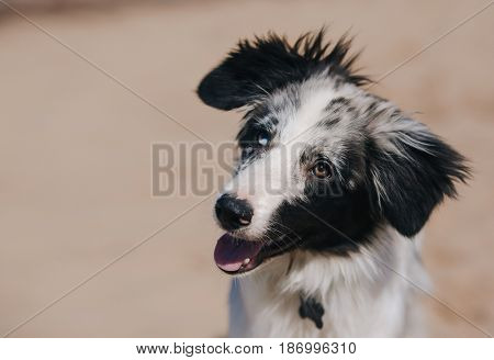 portrait adorable Cute Blue Merle Border Collie Puppy on the beach