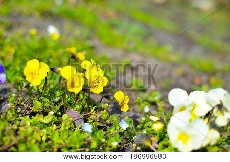 Violas Or Pansies Closeup In A Garden