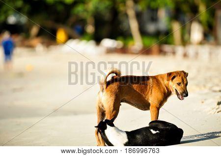 dogs on the beach, Thai dog on the Samed island Beach