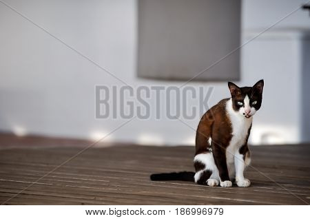 Siamese cat in Thailand, Thai cat white and brown color sitting on the ground