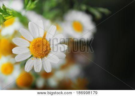 Chamomile flowers close up
