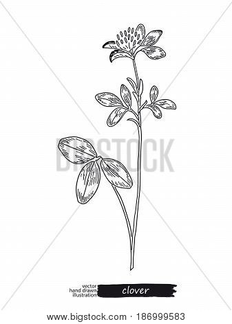 Clover isolated vector sketch hand drawn illustration. Detailed botanical sketch medicinal and honey plant. Black and white.