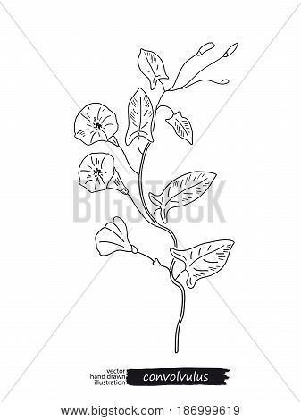 Convolvulus isolated vector sketch hand drawn illustration. Detailed botanical sketch medicinal and honey plant. Black and white.