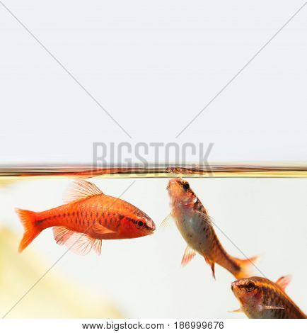 Beautiful aquarium still life with swimming cherry barb fishes. Tropical freshwater tank surface on light background. Puntius titteya belonging to the family Cyprinidae. Copy space